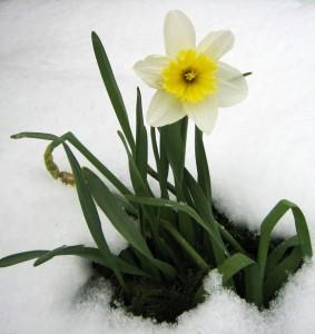 narcis-snijeg