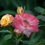 Cvijet ruže, Podsused