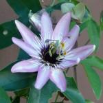 Cvijet pasiflore, San Diego 2011
