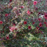 Manuka u cvatu, San Diego 2011.