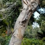 Stablo niaoulija, Botanički vrt Quale, CA 2010.