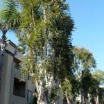Drvored niaoulija, San Diego CA, 2010.