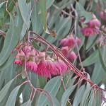 Cvijet eukaliptusa, San Diego 2010.