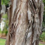 Kora stabla niaoulija (zovu ga paper bark tree), San Diego 2010.