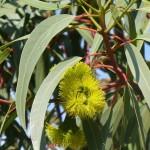 Eukaliptus u cvatu, San Diego 2010.