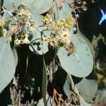 Vrsta eukaliptusa u cvatu, San Diego CA 2011.