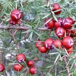Plod smrike, Vrtine 2015.