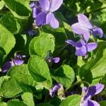 Ljubičica, Viola odorata
