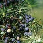 Borovica, Juniperus communis