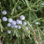 Cedar, virdžinijski, Juniperus virginiana