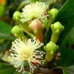 Klinčićevac, Eugenia caryophyllus