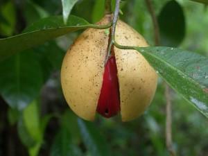 Muškatni oraščić, Myristica fragrans