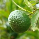 Zelena mandarina, Citrus reticulata
