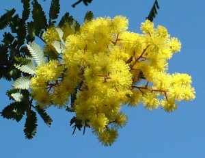 Mimoza, Acacia decurrens