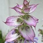 Muškatna kadulja, Salvia sclarea