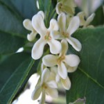 Osmantus, Osmanthus fragrans