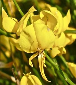 Brnistra, Spartium junceum