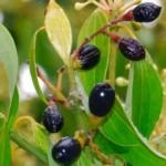 Cimet, plod Cinnamomum polyandrum
