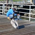 Pelikan čeka obrok