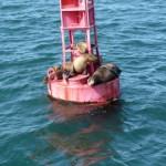 Morski lavovi ljenčare na bovi