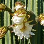 Kaktus u cvatu