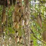 Kigelia africana (ne znam hrvatski naziv)