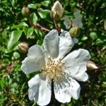 Cvijet šipka
