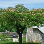Albicija cvjeta i miriše