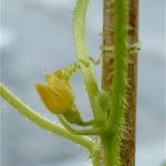 Cvijet mirisne tikvice